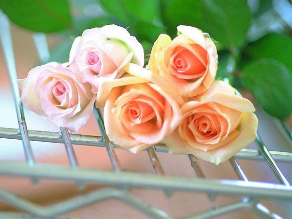 beautiful-roses-wallpapers-20-photos- (11)