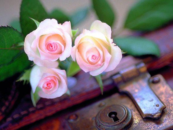 beautiful-roses-wallpapers-20-photos- (18)