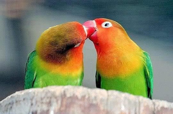 love-birds-kissing- (3)