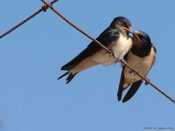 love-birds-kissing- (6)