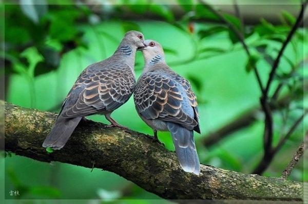 love-birds-kissing- (7)