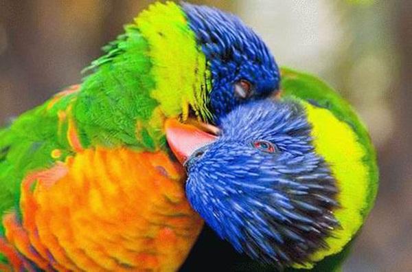 love-birds-kissing- (10)