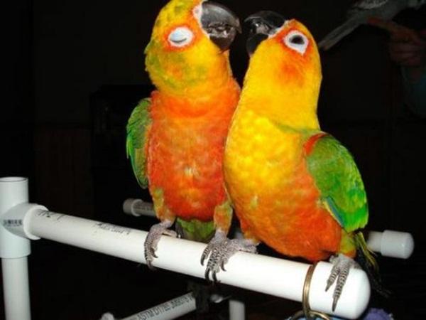 love-birds-kissing- (11)