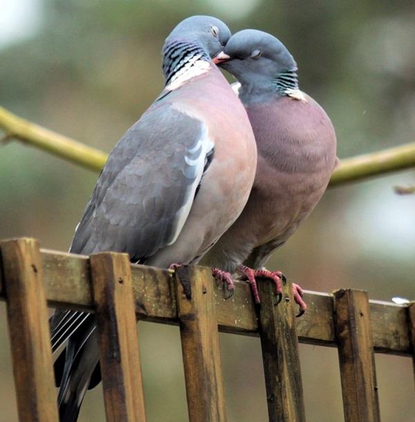 love-birds-kissing- (18)