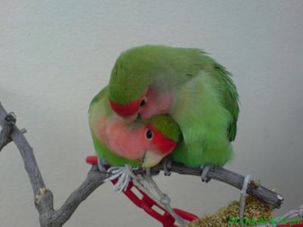 love-birds-kissing- (21)