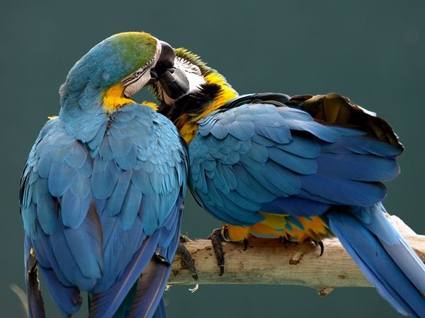 love-birds-kissing- (24)