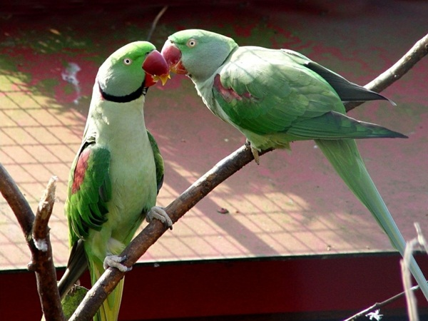 love-birds-kissing- (25)