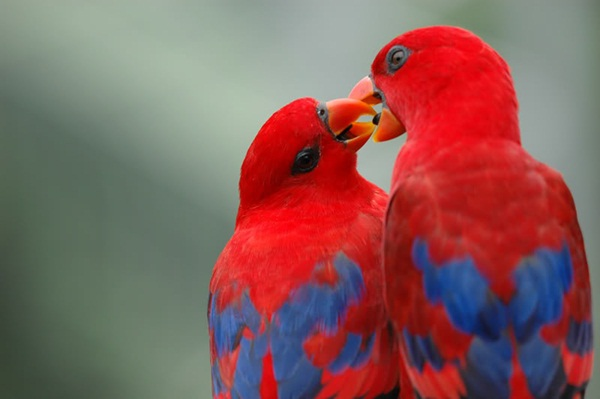 love-birds-kissing- (26)