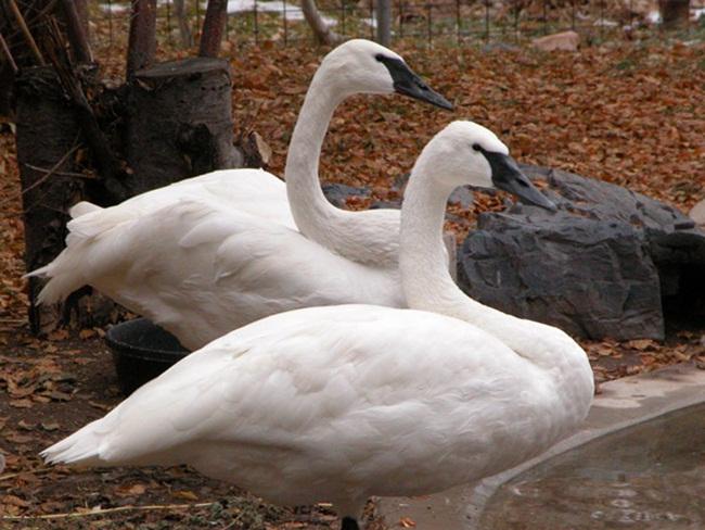 beautiful-swan-photos- (20)