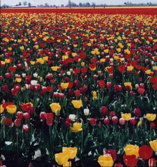 netherlands-tulips- (3)