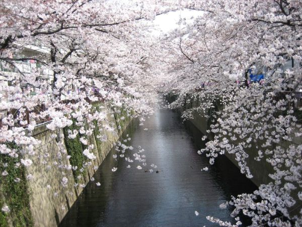 cherry-blossom-wallpaper-16-photos- (12)