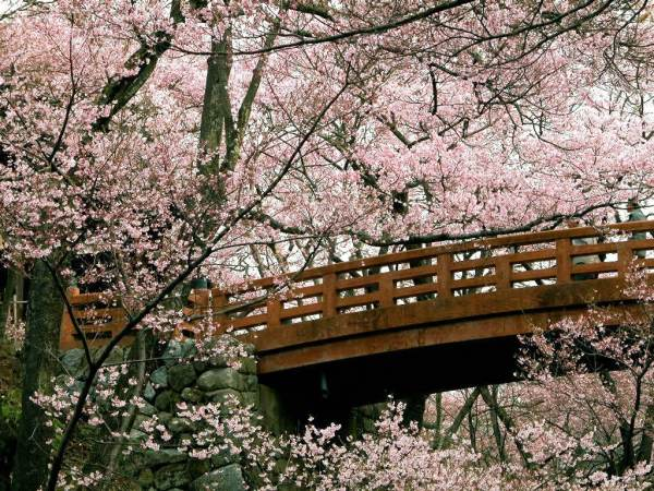 cherry-blossom-wallpaper-16-photos- (14)