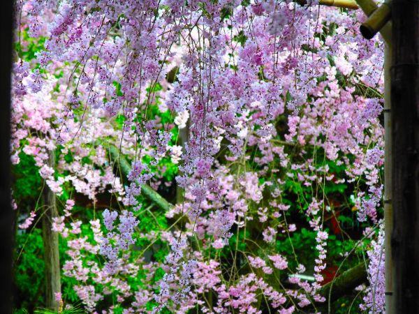 cherry-blossom-wallpaper-16-photos- (5)
