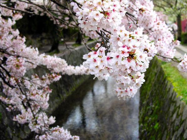 cherry-blossom-wallpaper-16-photos- (8)
