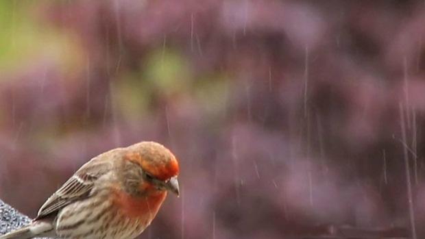 birds-in-rain- (2)