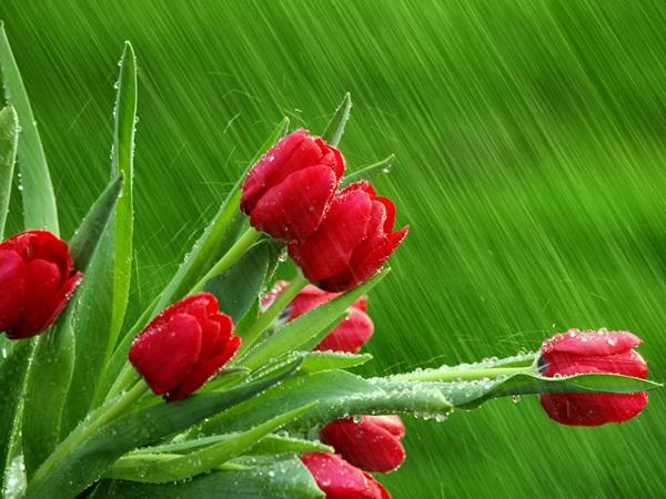 flower-in-rain- (3)