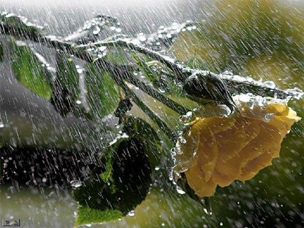 flower-in-rain- (5)