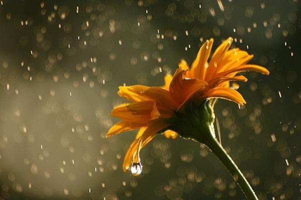 flower-in-rain- (8)