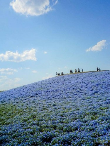 hitachi-seaside-park-japan-24-photos- (14)