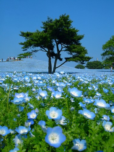 hitachi-seaside-park-japan-24-photos- (15)