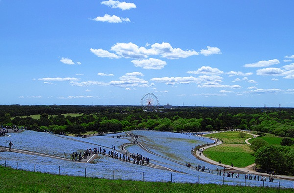 hitachi-seaside-park-japan-24-photos- (17)