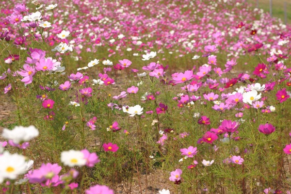 hitachi-seaside-park-japan-24-photos- (20)