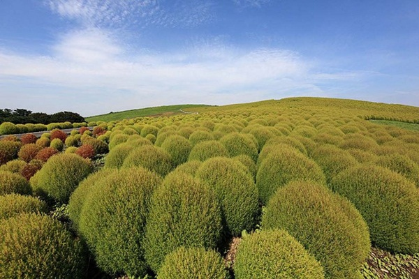 hitachi-seaside-park-japan-24-photos- (7)