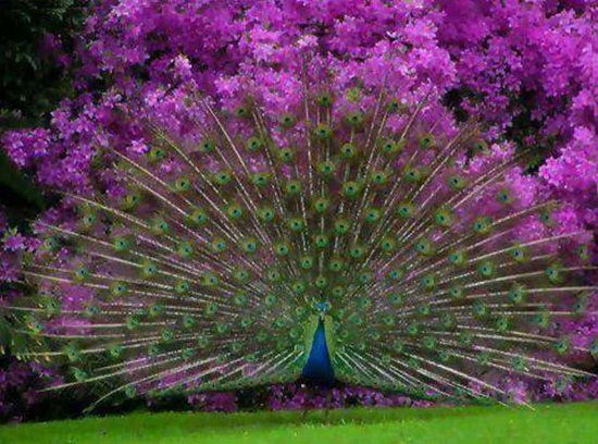 peacock-photos- (21)