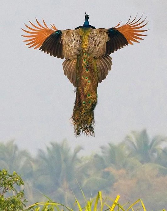 peacock-photos- (7)