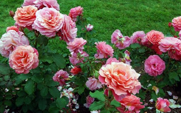 best-roses-26-photos- (17)