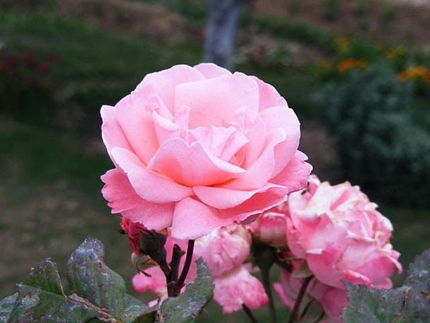 best-roses-26-photos- (22)