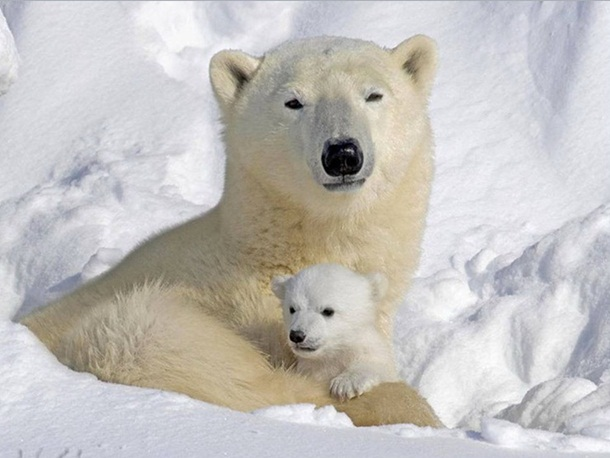 polar-bear-photos- (1)