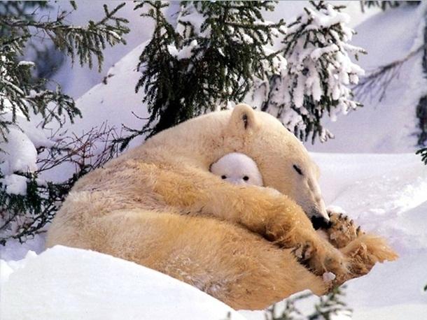 polar-bear-photos- (2)