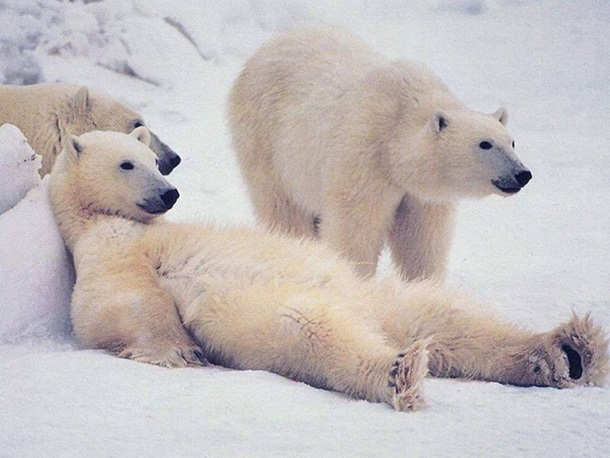 polar-bear-photos- (4)