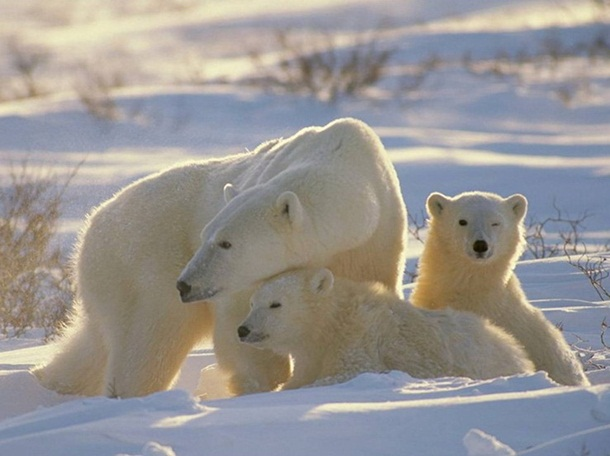 polar-bear-photos- (6)