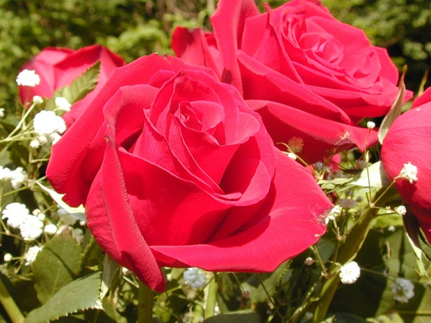 red-rose-flower- (4)