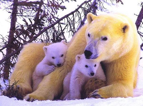 polar-bear-pictures- (12)