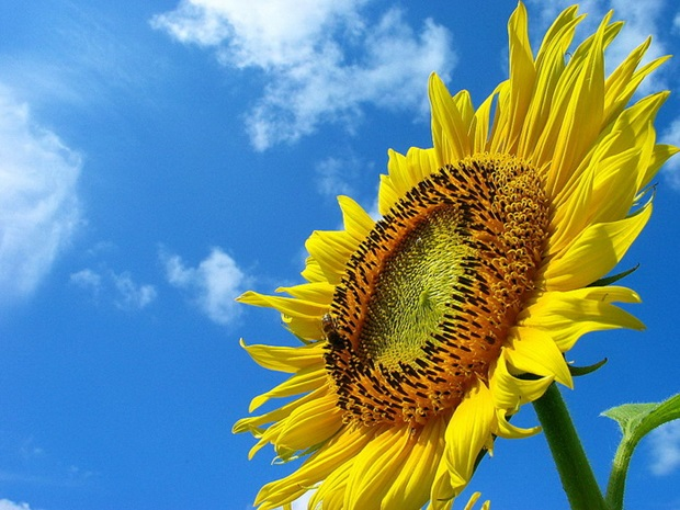 sunflower-photos- (12)