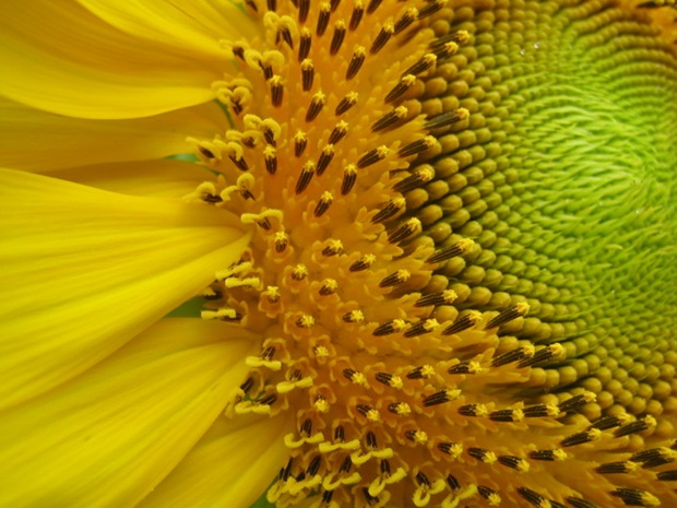 sunflower-photos- (13)