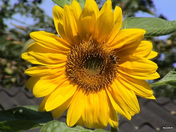 sunflower-photos- (15)