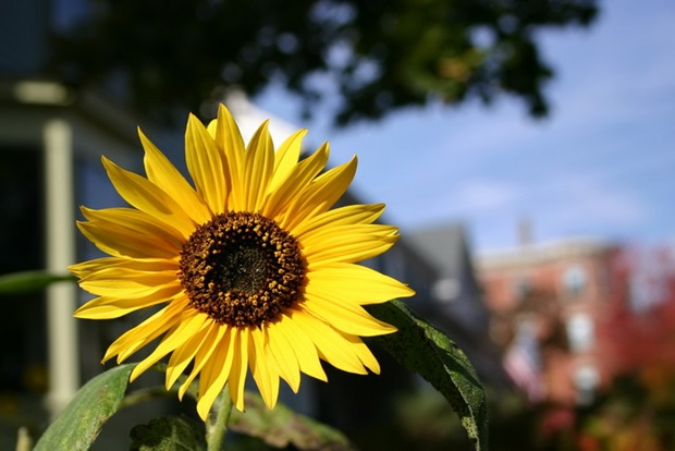 sunflower-photos- (16)
