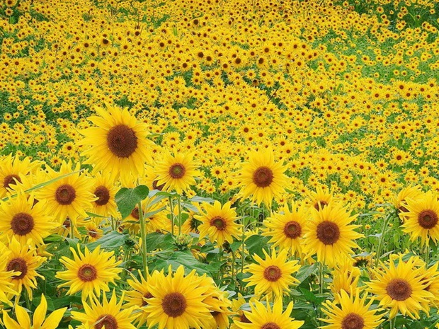 sunflower-photos- (18)