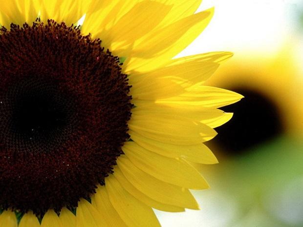 sunflower-photos- (9)