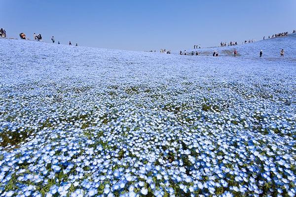 baby-blue-eyes-nemophila-hitachi-seaside-park- (9)
