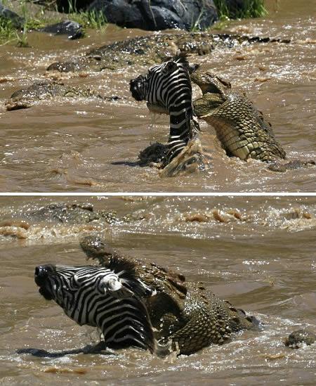 Crocodile attack zebra