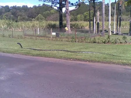Huge King Brown Snake in Australia