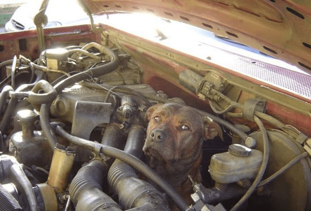 Dog in car engine compartment