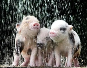 Baby pigs cool off in shower of water