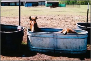 Hot horse lays in water trough