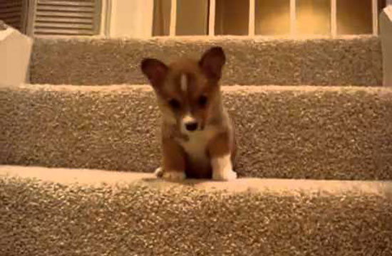 Watch adorable little puppies trying to make it down the stairs is beyond adorable!